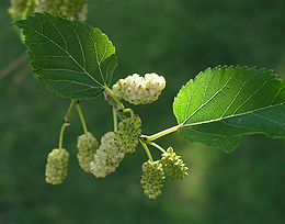 Hazai fafajok: A fehér eperfa