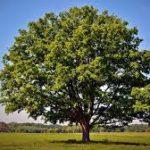 Hazai fafajok: A Tölgyek